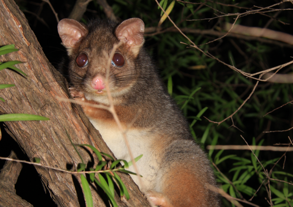 who to stop possums eating your garden