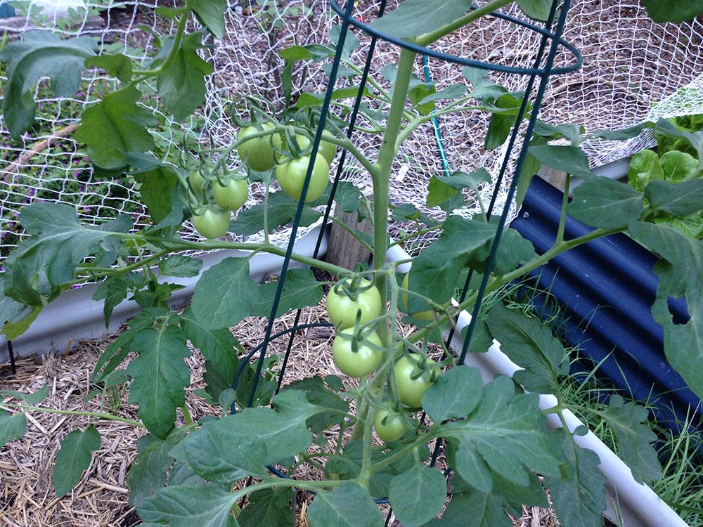 Week 5 - Roma Tomatoes