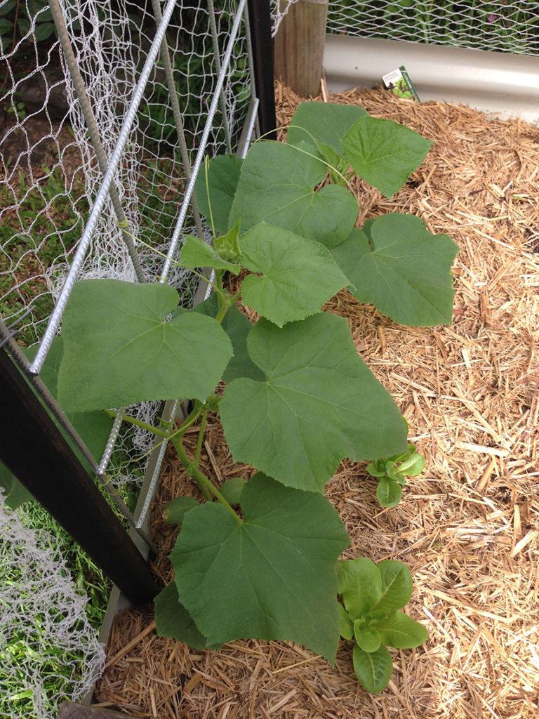 cucumber plant in trellis training