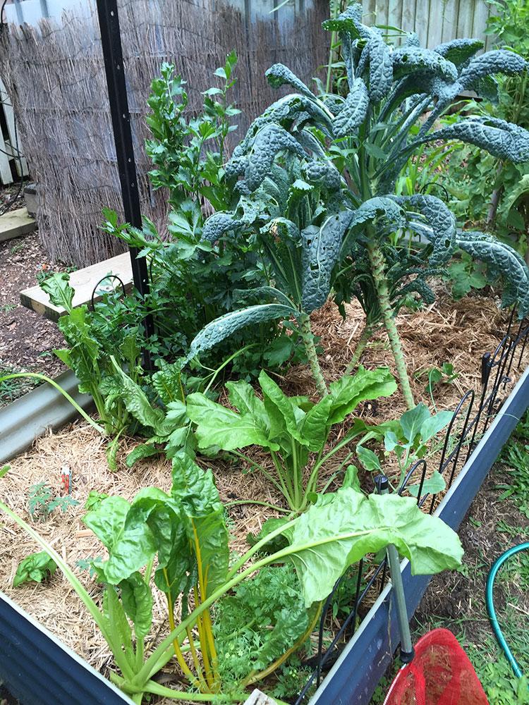 Kale, swiss chard, corn, tomatoes & celery