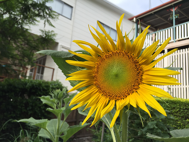 Hello Sunflower