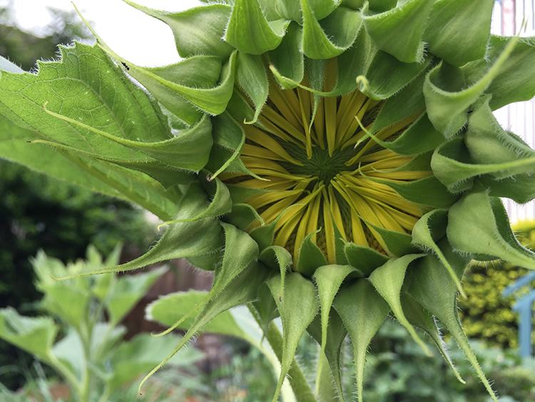 Sunflower ready to burst open