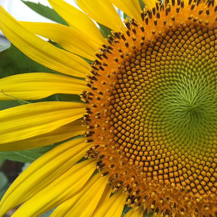 Sunflower evolution