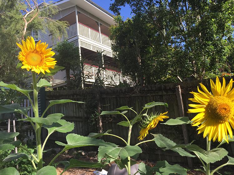 All three sunflowers