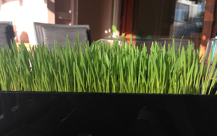 wheatgrass-green-juice-sprouting