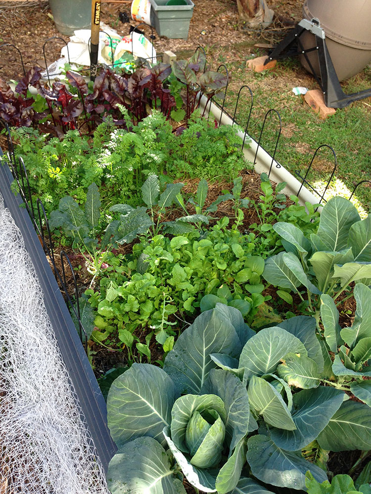 Veggies growing in abundance