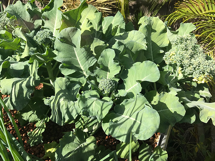 Broccoli growing in our Aquaponics