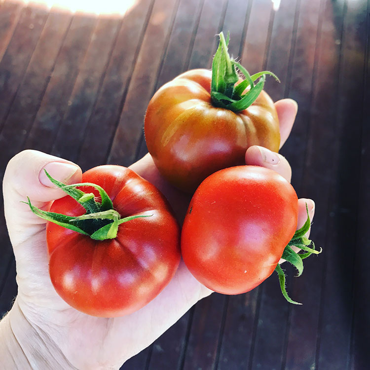 Our winter tomatoes