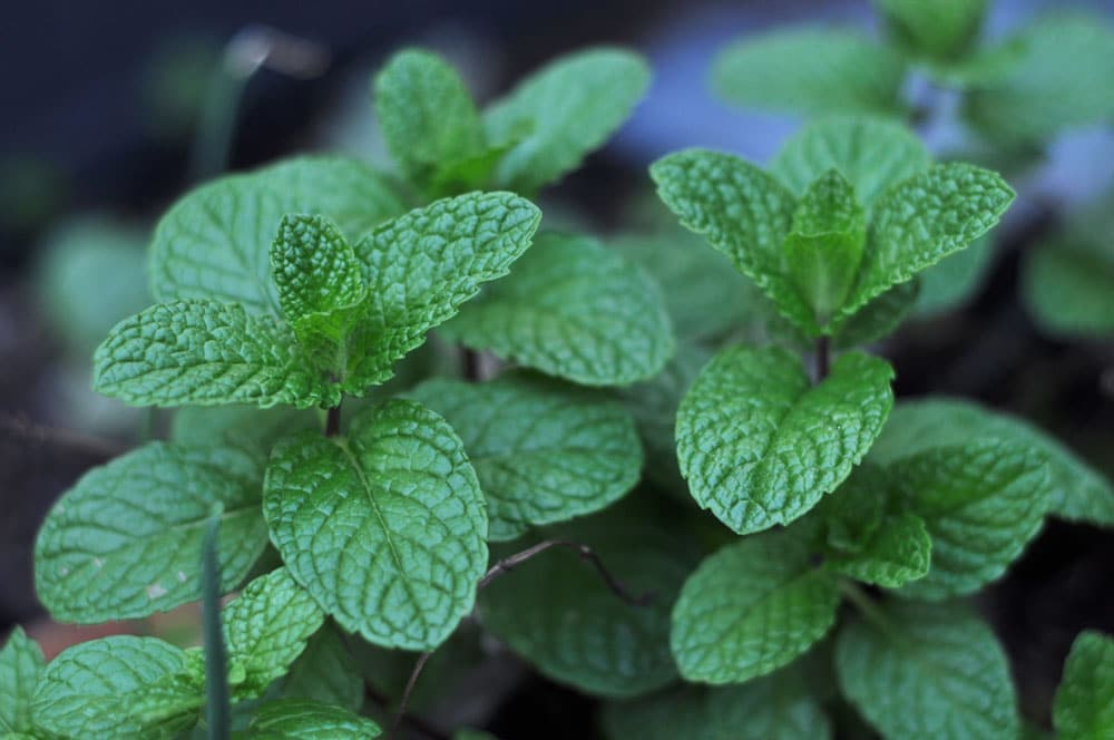 Growing Common Mint
