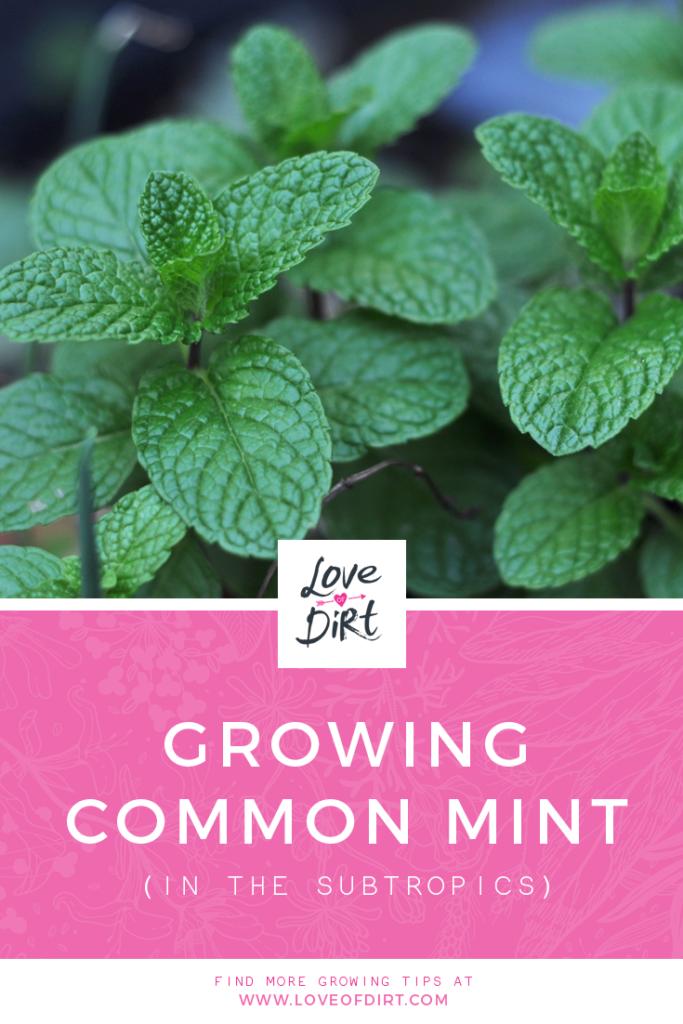 Growing Common Mint in the subtropics