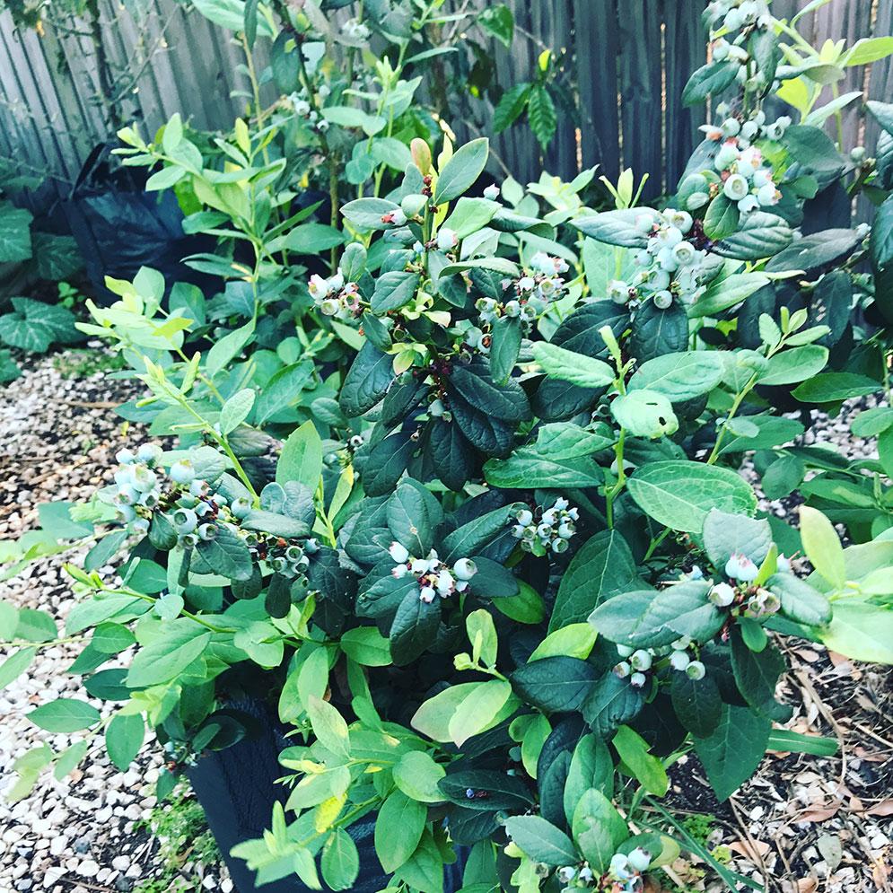 Our happy Blueberry bush