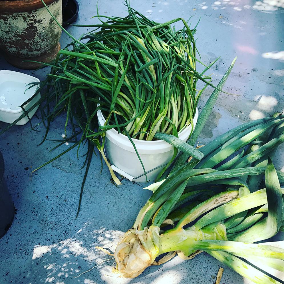 Spring Onion haul