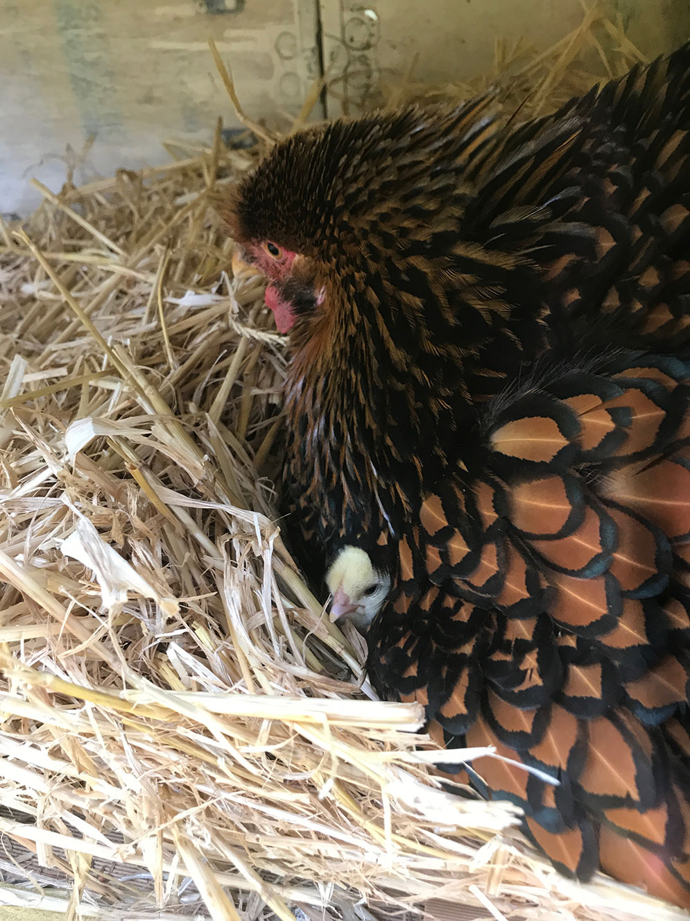 Using day old chicks for broody hens