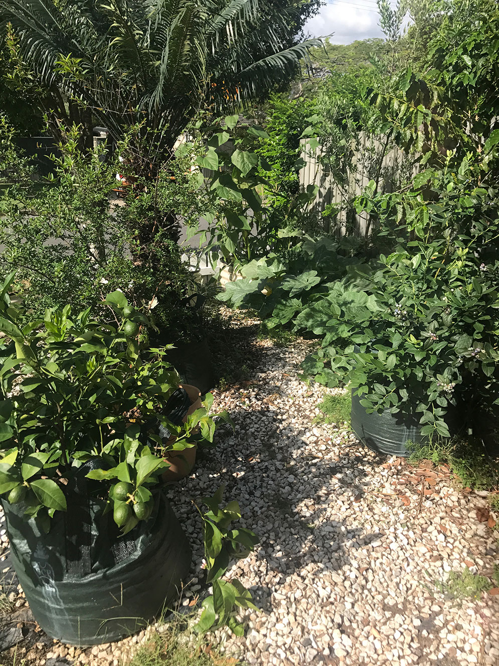 Our Fruit Orchard (aka fruit trees in pots)