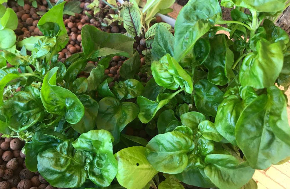 Brazilian Spinach
