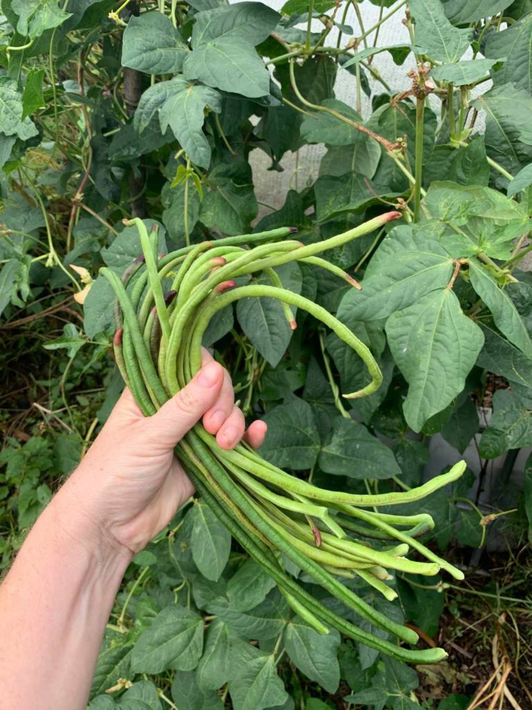 Black seeded snake bean