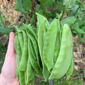 Giant Yakumo Snow Pea Seeds