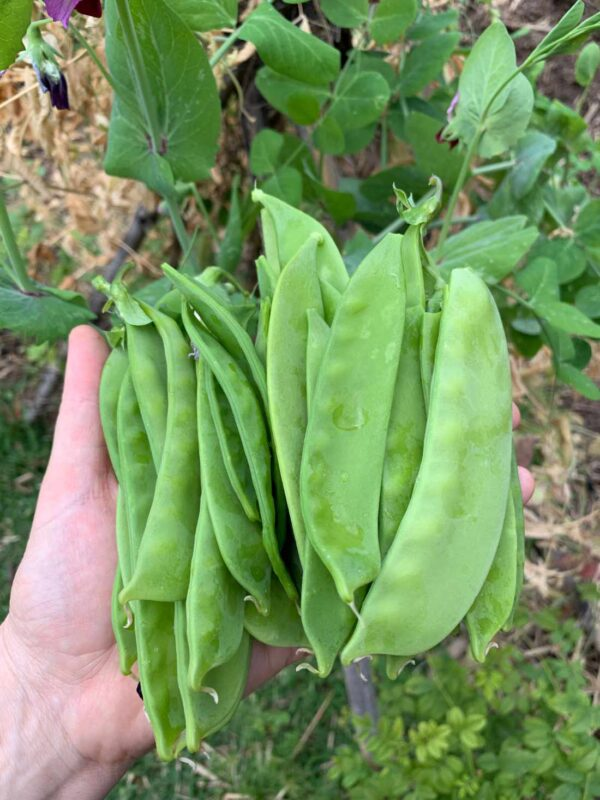 Giant Yakumo Snow Pea Seeds