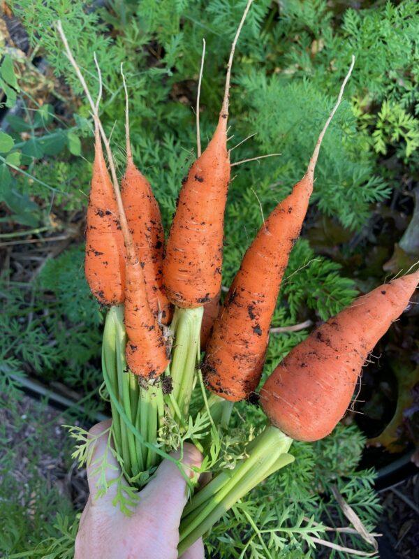 Kuroda Carrot Seeds
