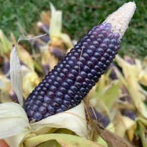 Mini Blue Popcorn Seed