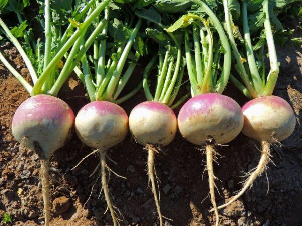Purple Top Turnip Seeds