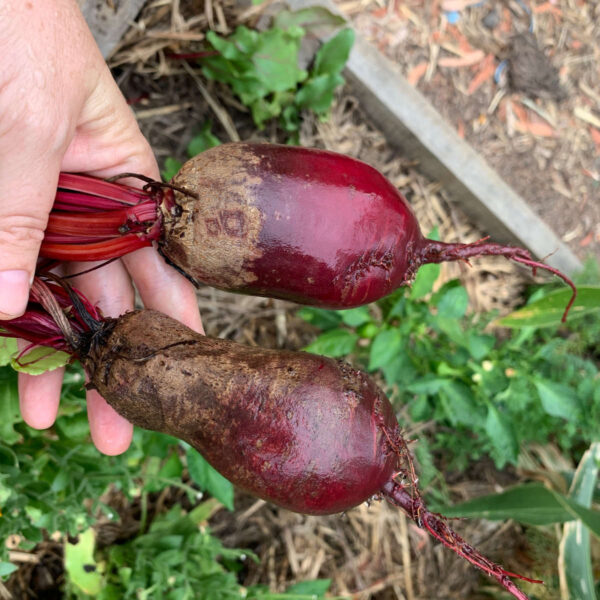 Cylindrica beetroot seeds