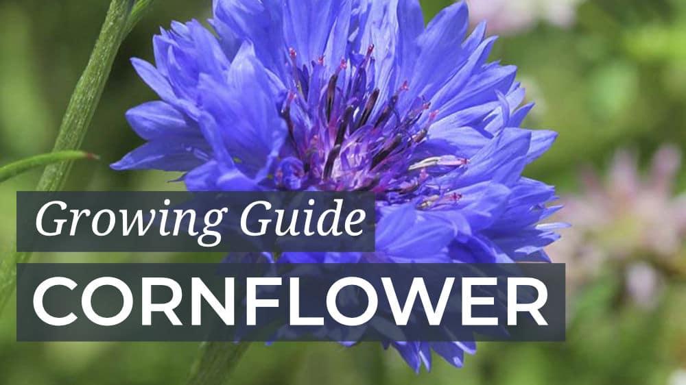 Growing Guide Cornflower