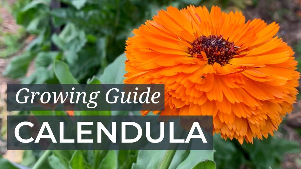 Calendula Growing Guide