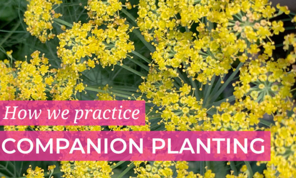 How we practice companion planting