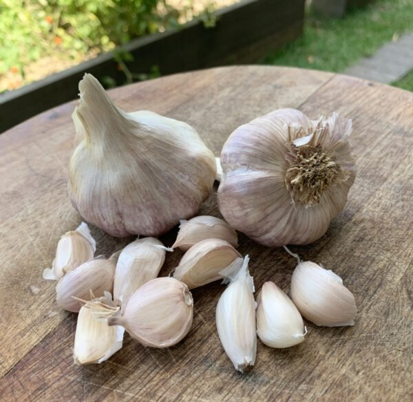 Glenlarge Garlic Seed Subtropical Garlic