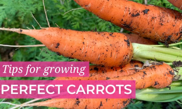 Tips for growing perfect Carrots