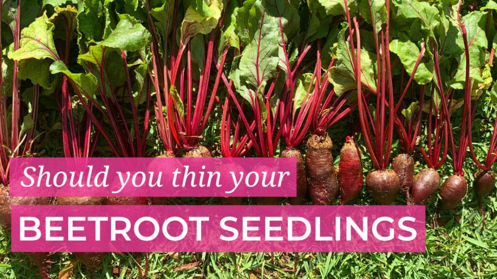 Should you thin your beetroot seedlings
