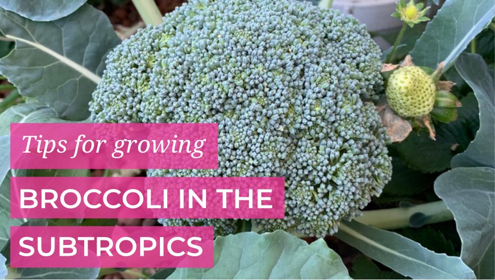 Tips for growing Broccoli in the Subtropics