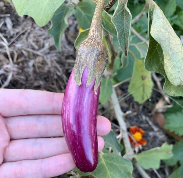 Greek Eggplant Tsakoniki Seeds