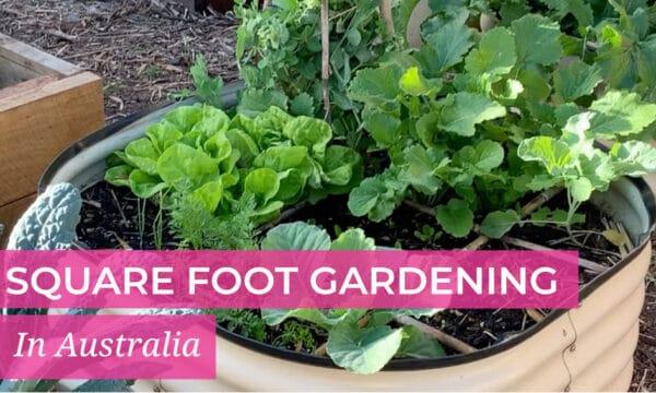 Square Foot Gardening in Australia